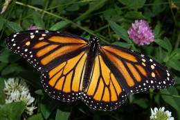 Photo Of A Beautiful Monarch Butterfly