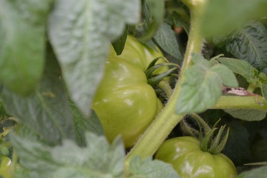 Green, immature tomatoes