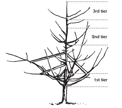 Limb spreaders help open the dwarf tree canopy and train the limbs to grow outward.