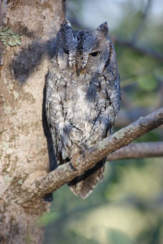 Scops Owl in Satara Camp