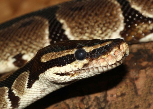 The inquisitive, sweet-tempered ball python makes an excellent reptilian pet.