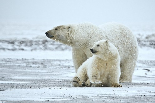 Sow and cub Polar Bears (Ursus maritimus) in the Arctic National Wildlife Refuge, Alaska.