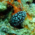 Sea Slug from the Philippines