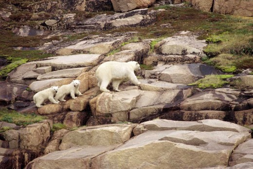 Polar bear, Ursus maritimus; mother and two cubs climbing up Guillemot Island (Ukkusiksalik National Park, Nunavut, Canada)