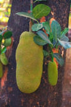 What do you know about JACKFRUIT? Is it available every where in the world or in a particular area?