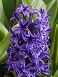 How to Grow Hyacinth