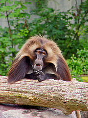 Gelada Baboon by Tambako the Jaguar on Flickr