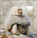 Hamadryas Baboon by e_monk on Flickr