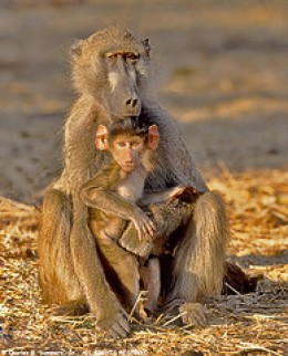 Chacma Baboon by WildImages on Flickr
