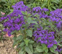 Purple Heliotrope