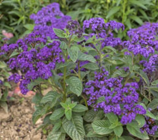 Purple Heliotrope