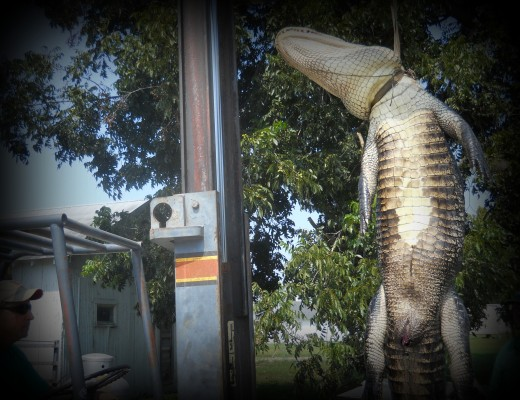 12 foot alligator