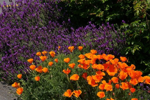 Lavender and California Poppies