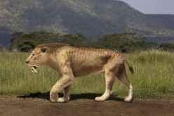 Killing a giant animal was one thing.  Keeping it from predators such as the smilodon--better known as the saber tooth cat--was another.