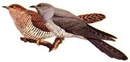 a pair of cuckoos