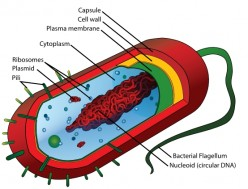 Diagram of a typical bacterium.