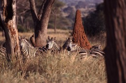 Zebras in the grass, with a termite mound behind them. Taken on safari in Tanzania.