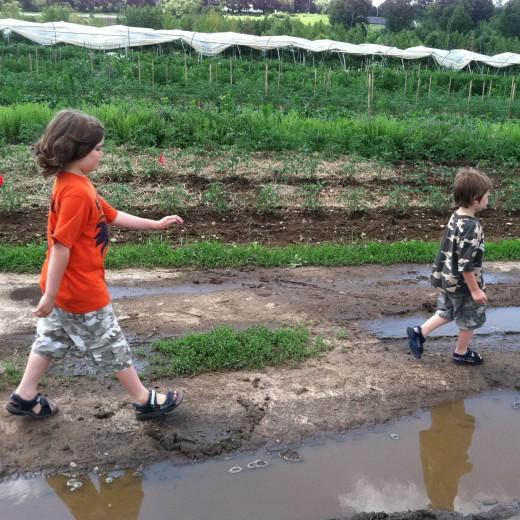 Picking strawberries at CSA farm
