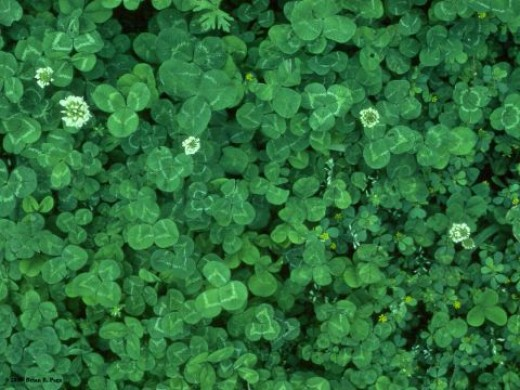 Pretty, little clovers, adds variety and texture to your yard, especially those hard to mow areas.