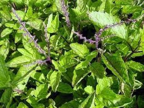 Holy Basil leaves (tulsi)