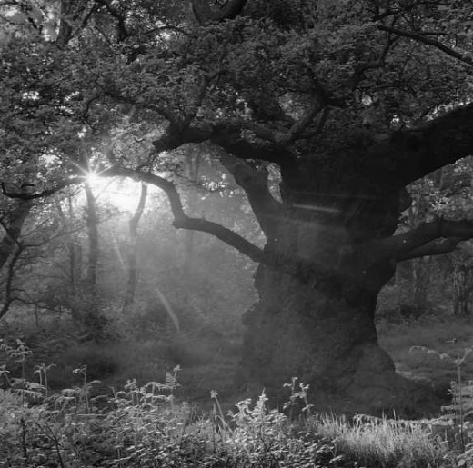A Sherwood forest oak.