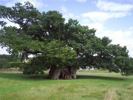 This oak is in the neighbouring county of Lincolnshire and is estimated to be at least 1000 years old.