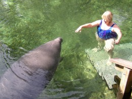 Blue Springs Manatee