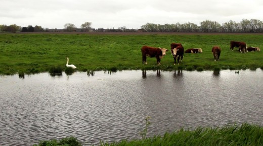 Cattle by the river. Animals are at risk