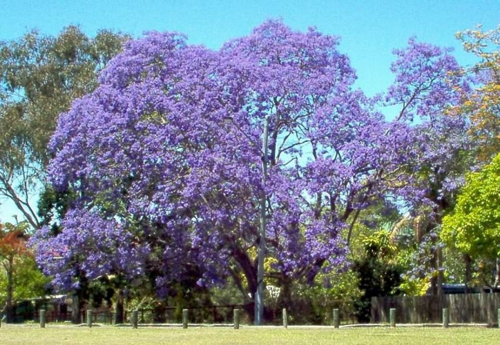 Jacarandas in johannesburg south africa hubpages - Fastest growing ornamental trees ...