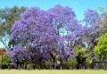 Jacarandas in Johannesburg, South Africa