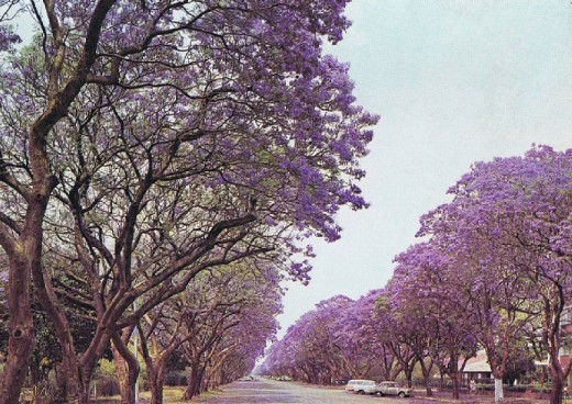 Jacarandas line the avenue in Zimbabwe