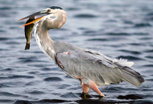 Great blue heron, similar to the one we kept seeing in Cooper's Bayou while kayaking.