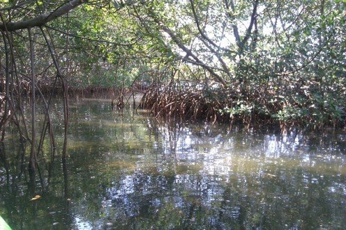 A short mangrove trail we explored while kayaking in Cooper's Bayou.