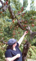 Fruit Picking in Massachusetts