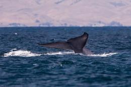 Blue Whale tail.