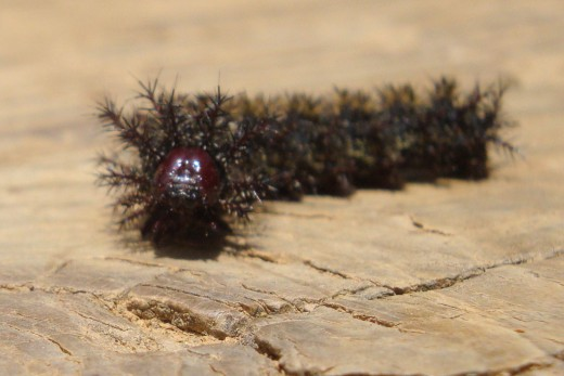 Buck Moth Black Caterpillar with a red face that has poison venom in its furry looking spines that can STING!