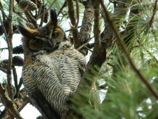 Great Horned Owl Mother to the Two Owlets
