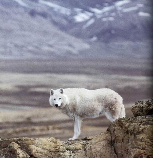 Alpha Male Arctic Wolf on the Barrens