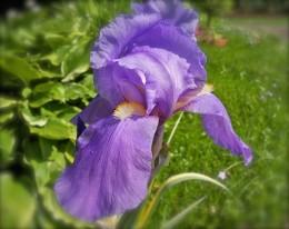 A Serene, Tranquil Iris