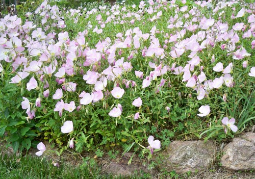 My Mini Meadow Of Pink Primrose