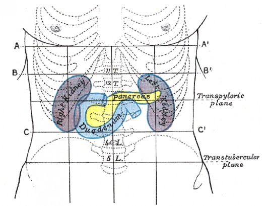 The yellow organ is the pancreas which controls insulin.