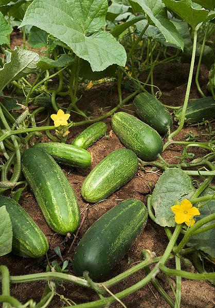 Cucumbers on the vine