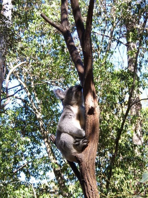 Koala at Lone Pine, Brisbane