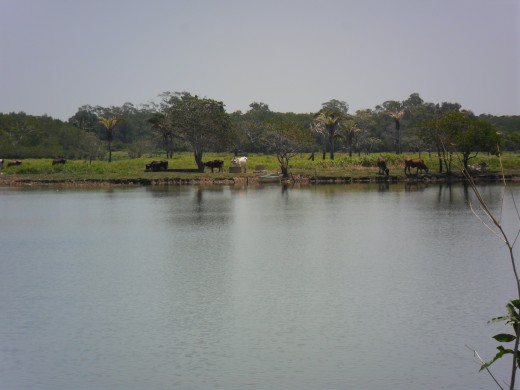 Cattle grazing on the far bank of the Tonalá River
