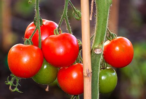 Delicious Fresh Garden Tomatoes