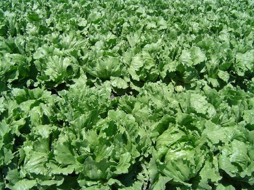 Lettuce growing in a California field.
