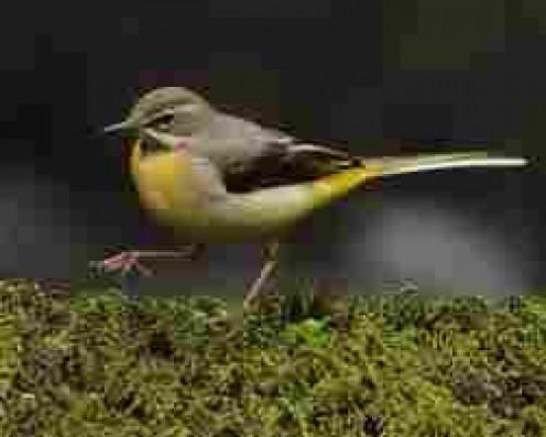Grey Wagtail: Liked by Cuckoo