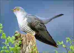 Adult Common Cuckoo