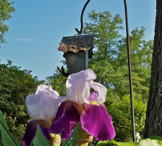 Iris Tucked Under Bird Feeder