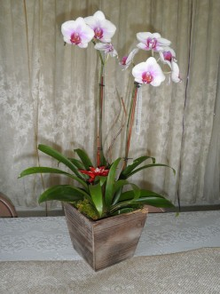I bought this orchid as a wedding gift for some friends of mine and they used it on their bridal table at their reception. It has a bromelaid in it too. Very nice combination. Also looks like part of the container must have got chewed by their puppy!
